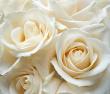 WHITE_ROSES_KINGSMILLS